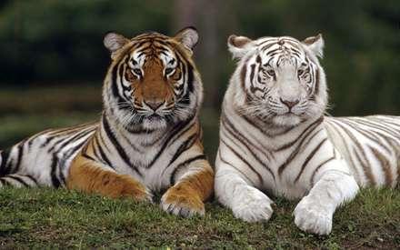 ببر سفيد و ببر بنگال