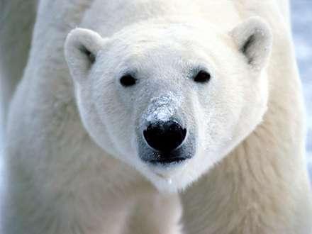 نماي بسته از خرس قطبي