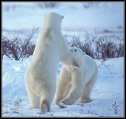 دو خرس درحال مبارزه