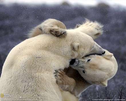 بازي دوستانه دو خرس قطبي