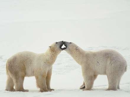 دعوا بين دو خرس قطبي