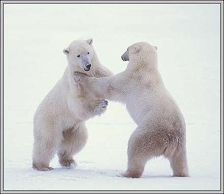 دو خرس بازي گوش
