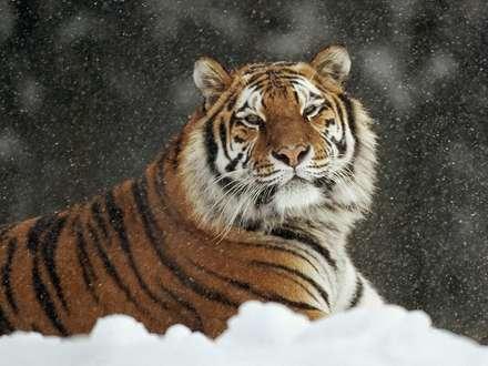 ببر سيبري نشسته در برف