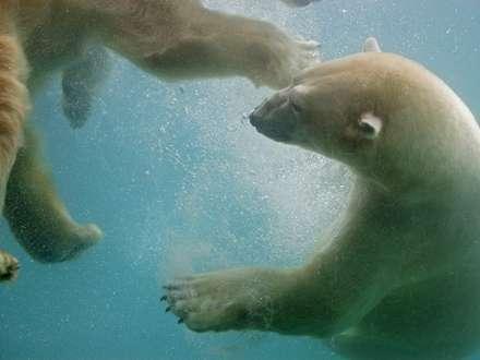 دو خرس در حال آب بازي