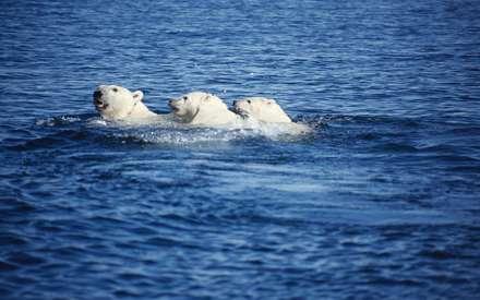 شناي سه خرس قطبي با هم