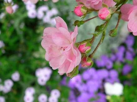ايران، خودکفا، بيوتکنولوژي، گل رز، واردات، قيمت، يورو، هلند، صورتي، شاخه، غنچه