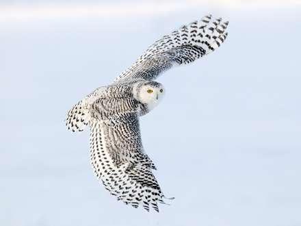 جغد برفي در حال پرواز