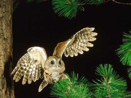 جغدي در حال پرواز در جنگل