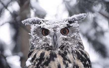جغدي که روي سرش برف ريخته