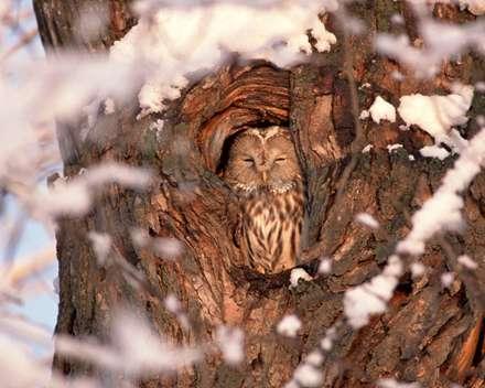 جغدي خواب داخل لانه اش درون درخت در زمستان