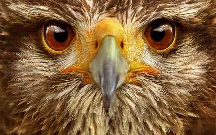 صورت يک جغد عقابي شمالي از نماي بسيار نزديک