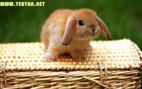 10 تصویر (والپیپر) زیبا و بانمک از خرگوش کوچولو