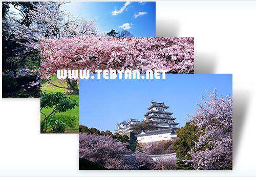 پوسته (تم) زیبای شکوفه های گیلاس برای ویندوز7، Cherry Blossoms Win 7 Theme