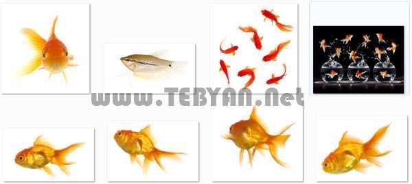 تصاویر استوک با موضوع ماهی قرمز، Goldfish