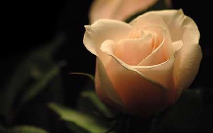 رز گلبهی