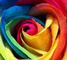 مجموعه 20 عکس رزهای زیبا