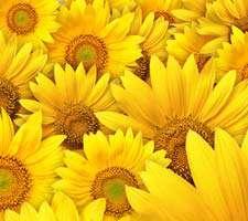 مجموعه 40 عکس با کیفیت بالا از گل های زیبای آفتاب گردان
