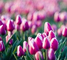 مجموعه 20 عکس گل های لاله در رنگ های مختلف