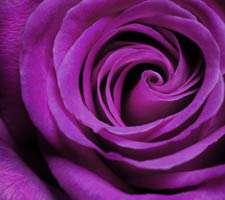 مجموعه 20 عکس با کیفیت از انواع گل رز