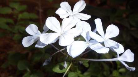 گل های پنج برگ سفید
