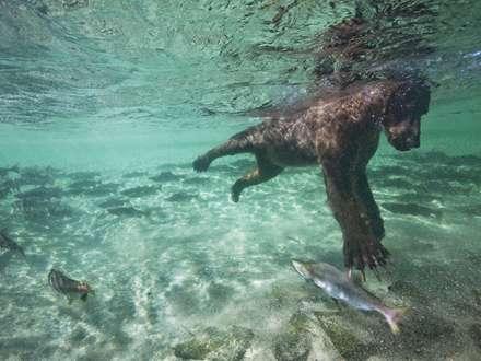شنای خرس برای صید ماهی