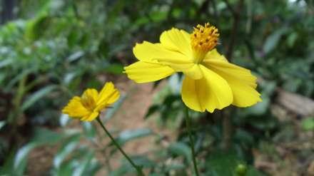 گل زرد با ستون میانی