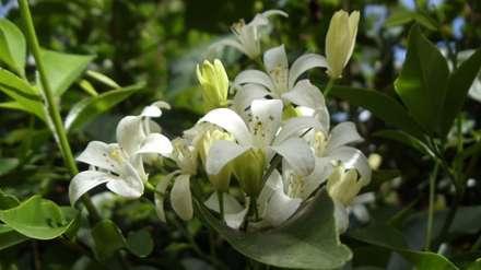 گل ارکیده سفید