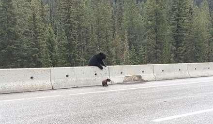 لحظه باور نکردنی نجات بچه خرس توسط مادر