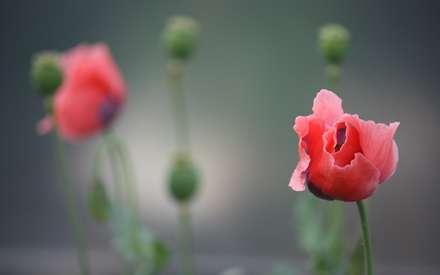گل، شقایق