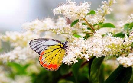 پروانه، گل