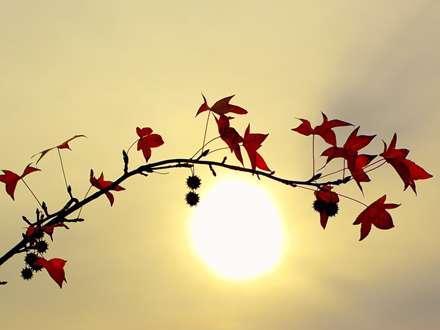 برگ قرمز، خورشید، شاخه درخت