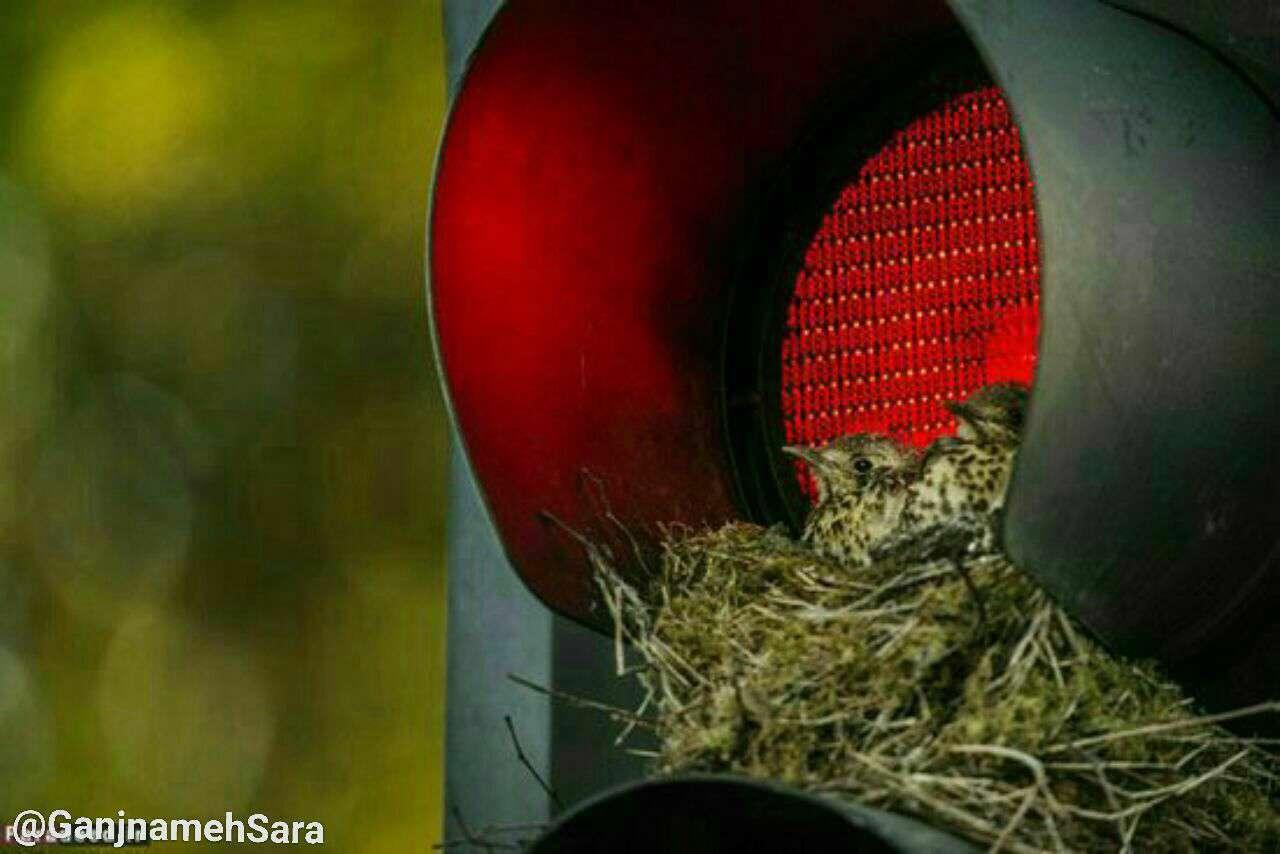 عکس، پرند، لانه، خانه، چراغ راهنمایی
