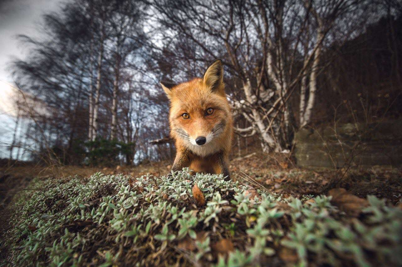 لنز, عکس, روباه, نشنال جئوگرافیک, طبیعت