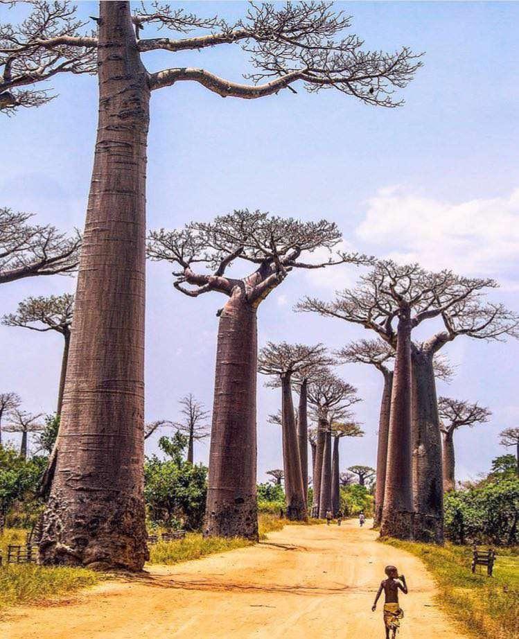 درخت, بائوباب, بایوباب, افریقا, تشنگی, آب, مقاوم, بلند, کویر, ماداگاسکار