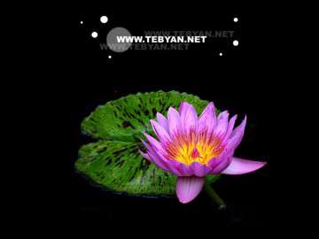 گل زیبایی در مرداب