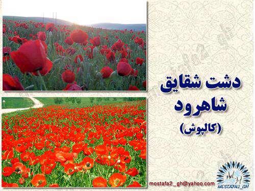 دشت شقایق  mostafa2_gh