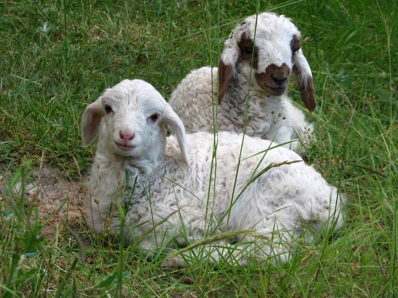 گوسفند گنجینه تصاویر تبيان