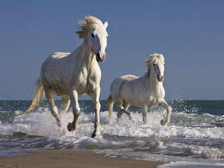تصوير، IMAGE، اسب، سفيد، دويدن، ساحل