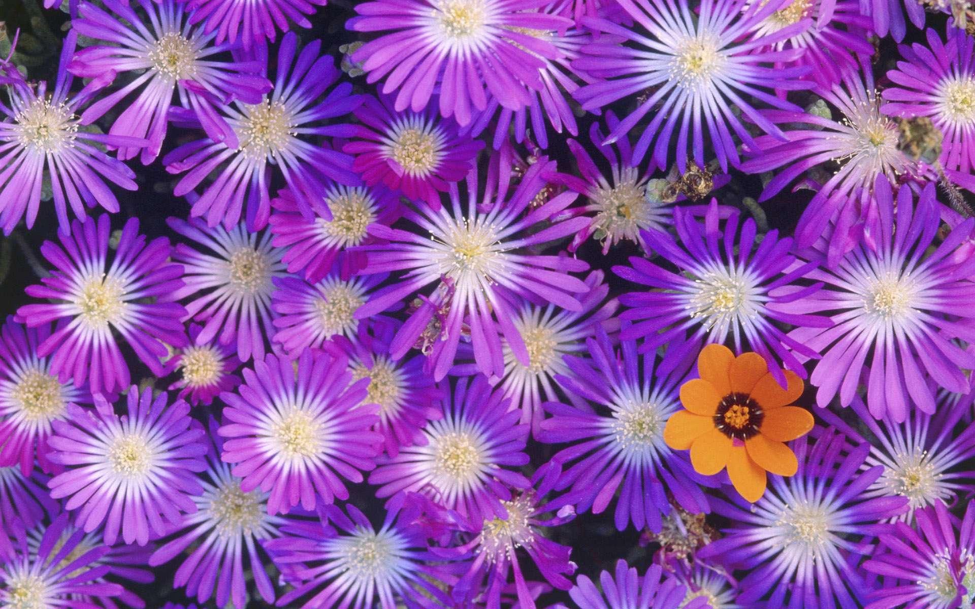 گلهای بنفش زیبا گنجینه تصاویر تبيان
