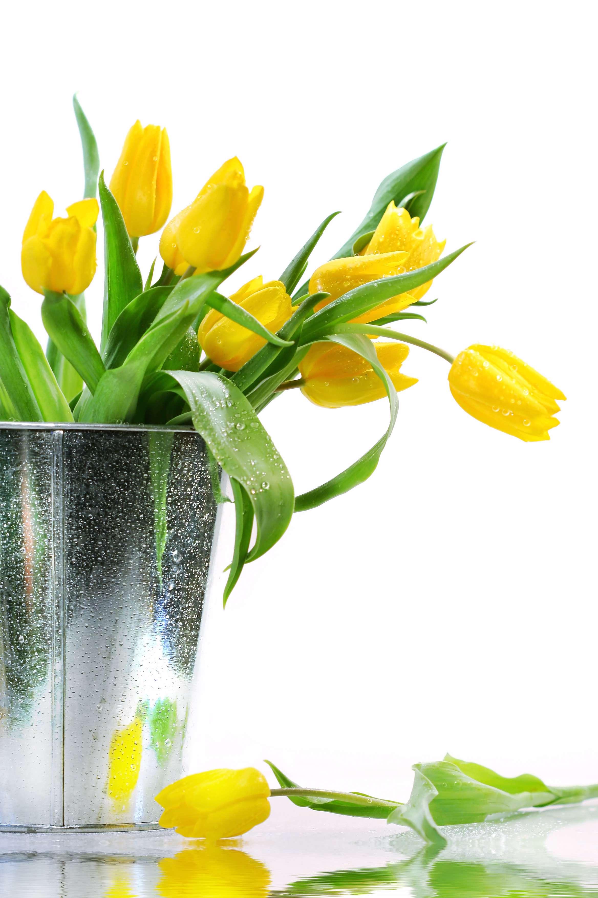 گالری عکس های گل لاله   تصاویر گل لاله قرمز   سفید   زرد و