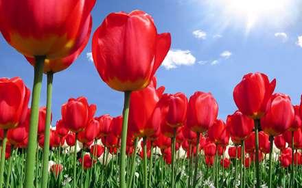 تصویر، image، عکس،  منظره، گل، لاله، گل لاله، طبیعت، شبنم