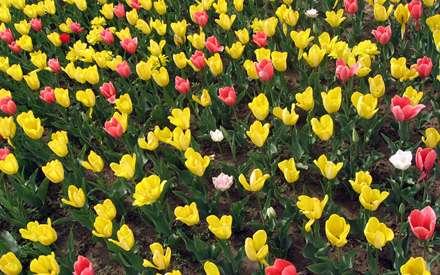 سری دوم عکس های گل لاله   گل لاله قرمز   سفید   زرد و صورتی