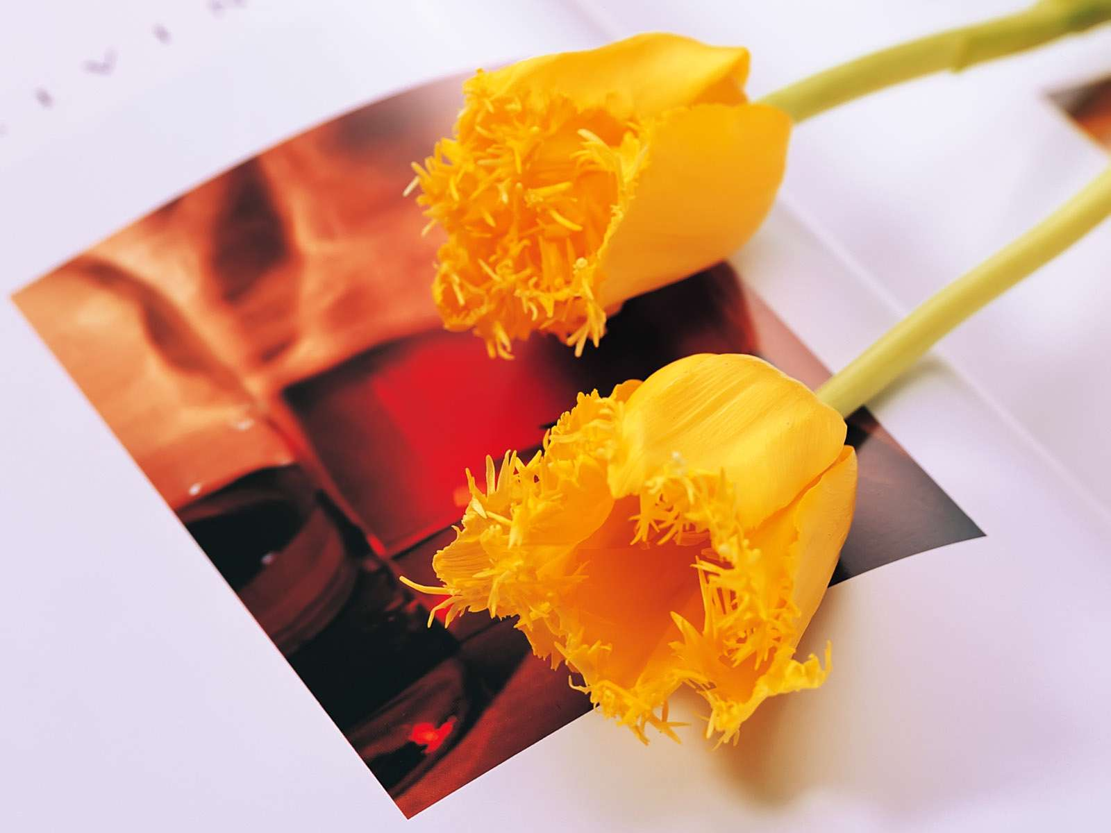 عکس گل لاله زرد رنگ   گالری عکس