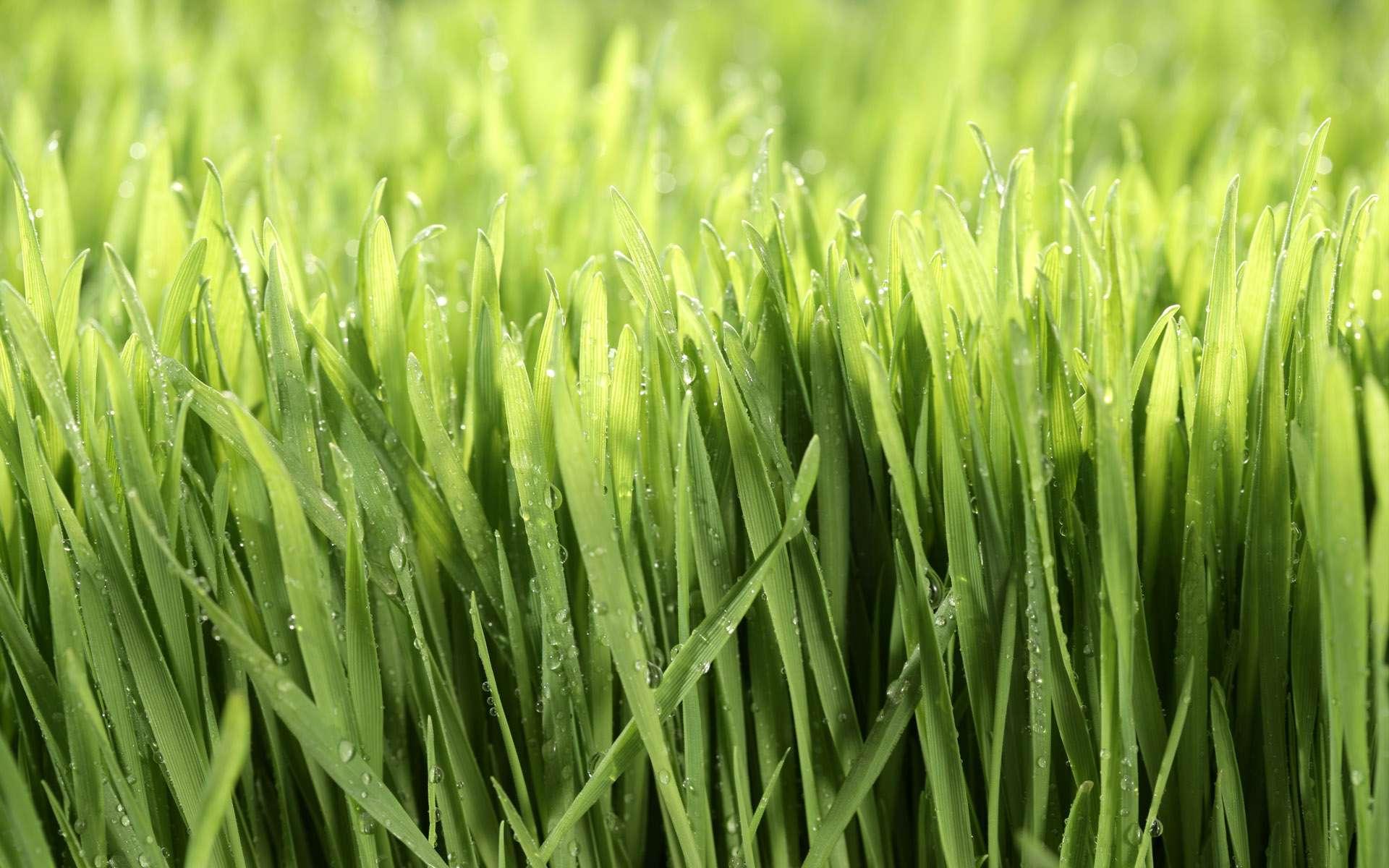 سبزه جو سبزه هاي جوانه گندم گنجینه تصاویر تبيان