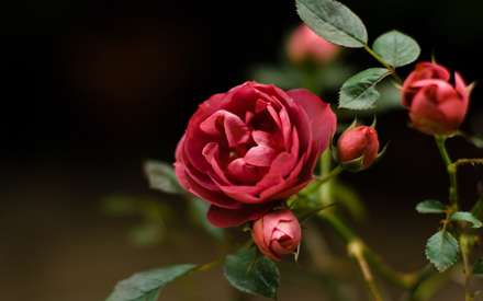 گل، Flower، نسترن، قرمز، Red، غنچه، Bud