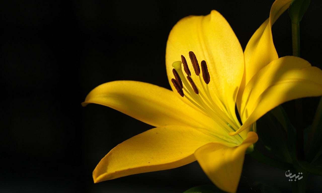 عکس گل لیلیوم