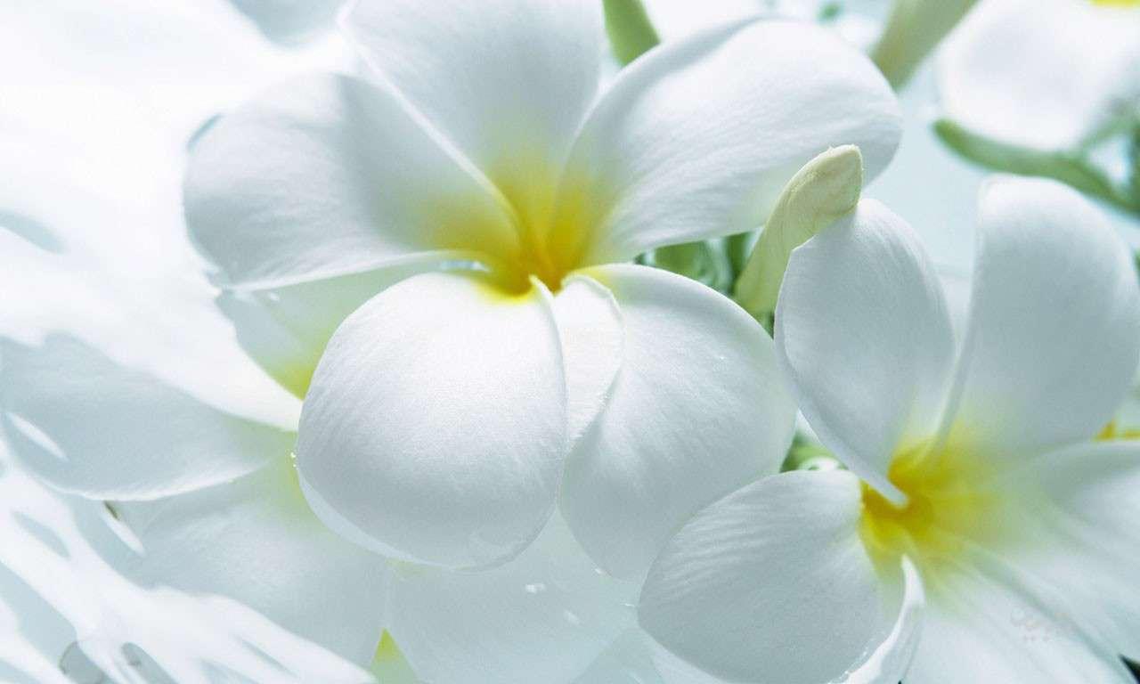 گلهاي سفيد زيبا از نزديك گنجینه تصاویر تبيان