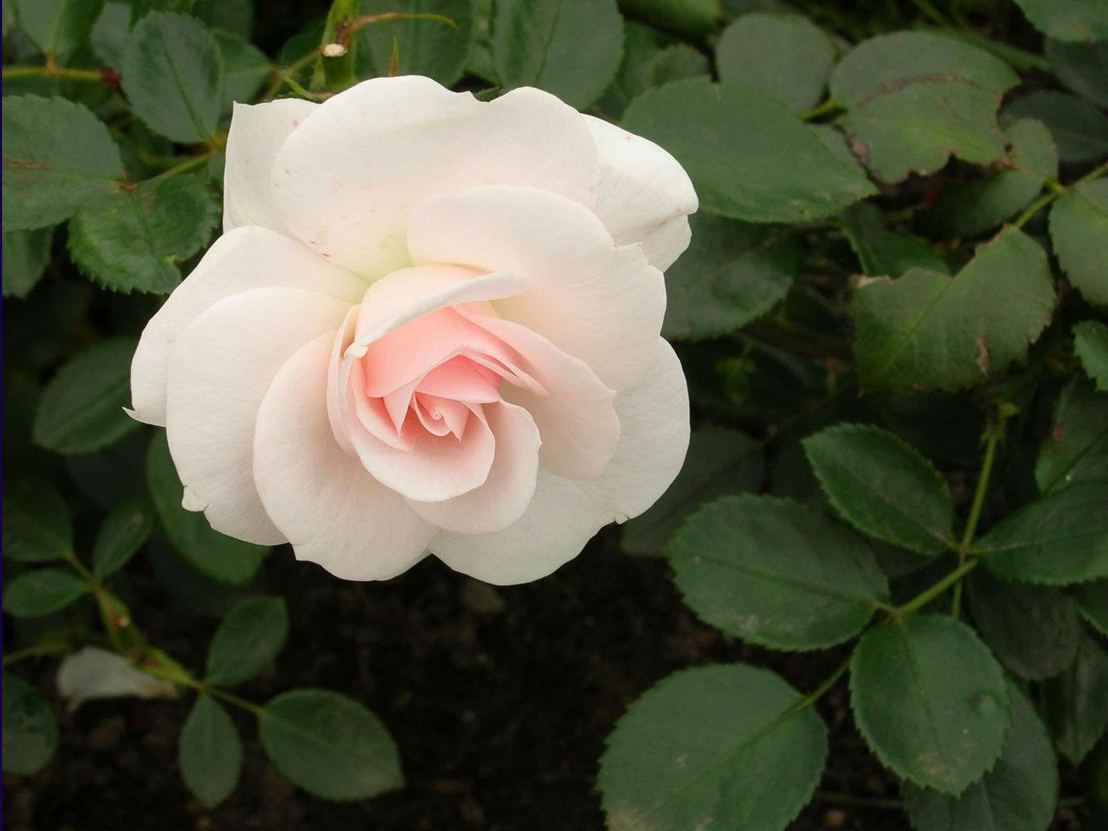 گل رز سفيد گنجینه تصاویر تبيان