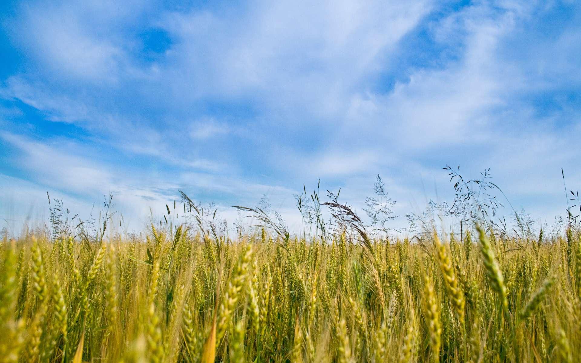 سبز  گندم در خاک گندم زار - گنجینه تصاویر تبيان