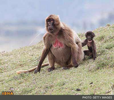 با عجیب ترین مادران حیات وحش آشنا شوید + عکس